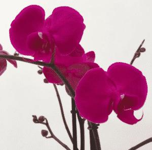 Phalaenopsis hybride optiflo