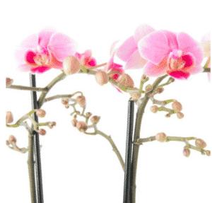 Phalaenopsis hybride luzern