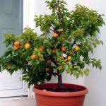 Mini arbre fruitier arbre fruitier nain