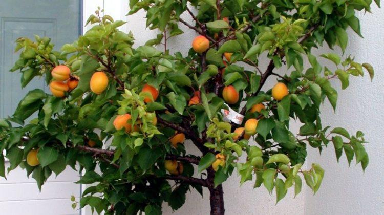 Arbres Fruitiers Nains pour Balcon ou Petit Jardin, Créer un Mini Verger