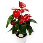 anthurium plante pour la salle de bain