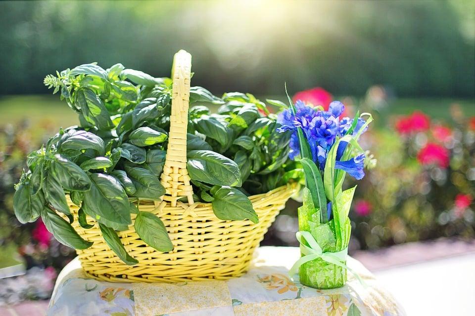 basilic herbe aromatique