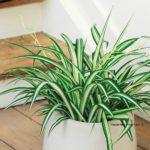 chlorophytum-elatum plante décoration