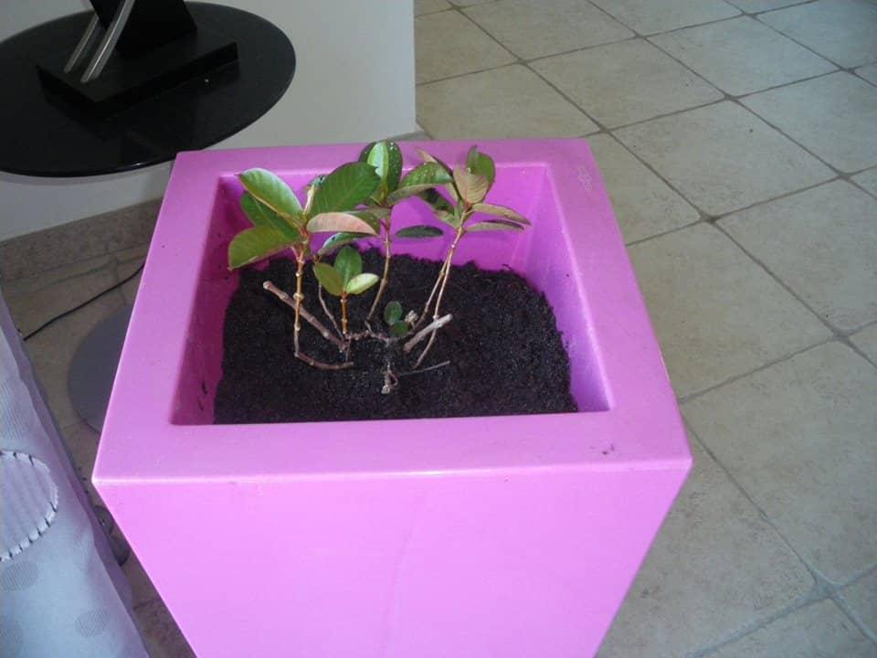 mon dipladéna dans un pot rose
