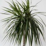 dracaena deco plante intérieur