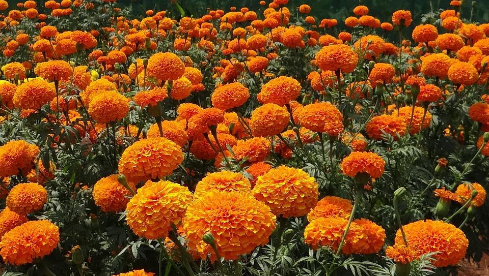 fleur oeillet d'inde