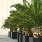 palmier phoenix décoration chambre