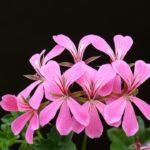 Pelargonium : Plantation, Désherbant Bio Naturel
