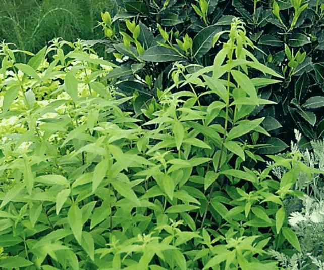 verveine citronnelle repulsif chat jardin