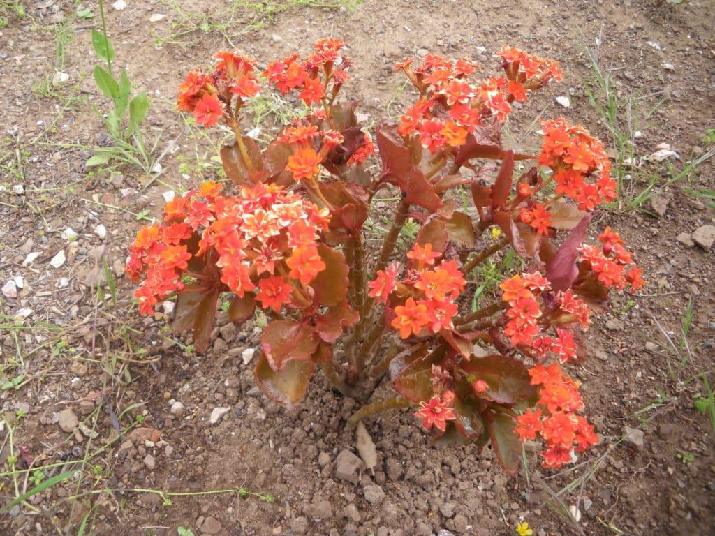 bégonia orange