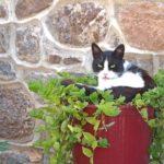 chat dans un pot de fleur