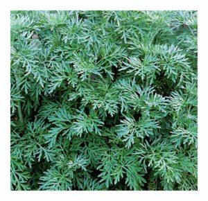 absinthe plante