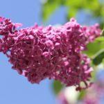 jardin parfumé lilas