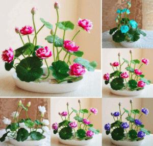 Mini Lotus Graines De Fleurs