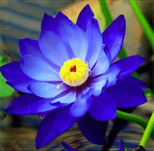 Graines De Fleurs De Lotus Indiennes