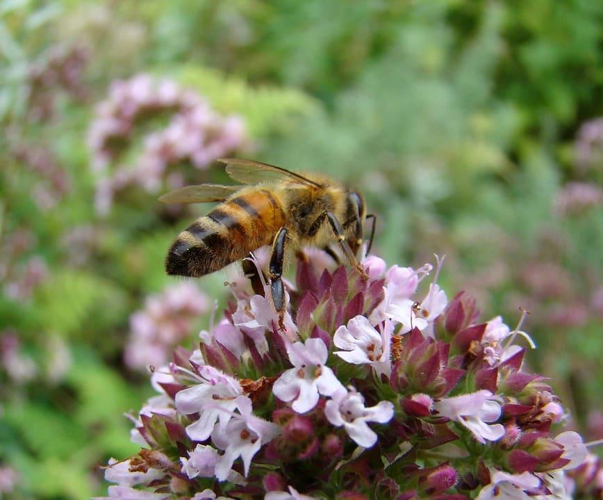 thym et abeille