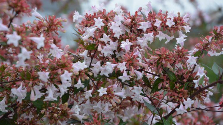 abélia fleurs