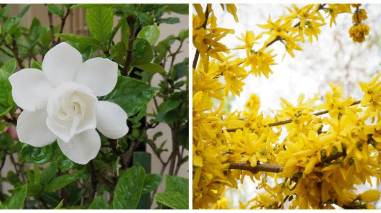 gardenia et jasmin d'hiver
