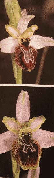 orchidée splendida