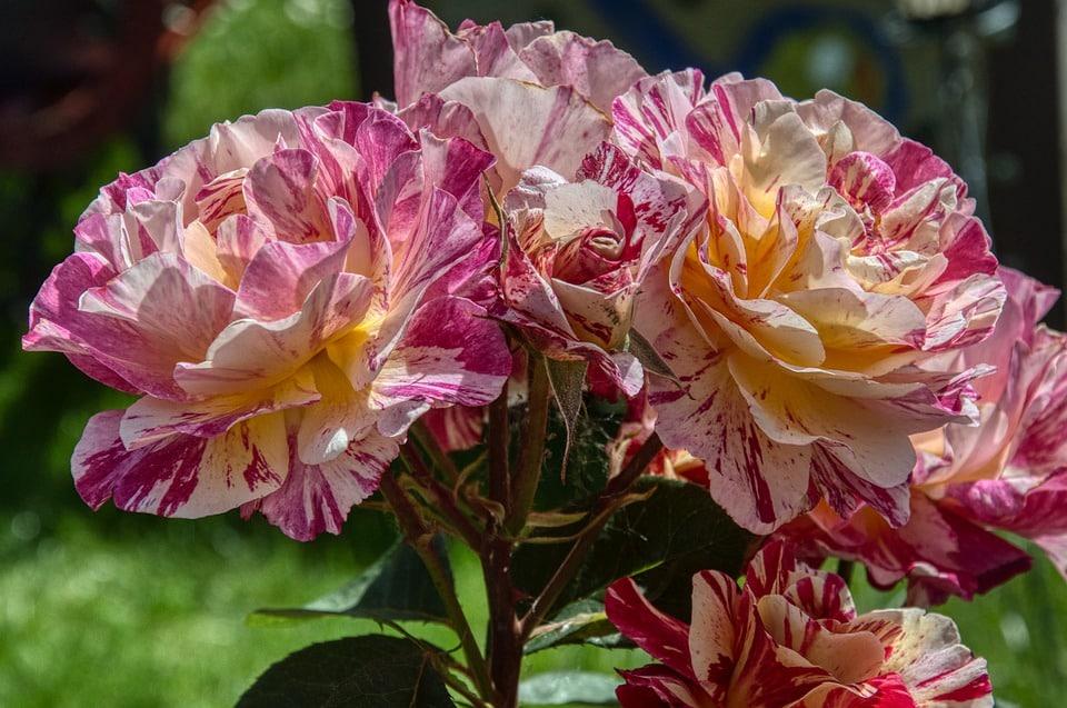 rosier floraison