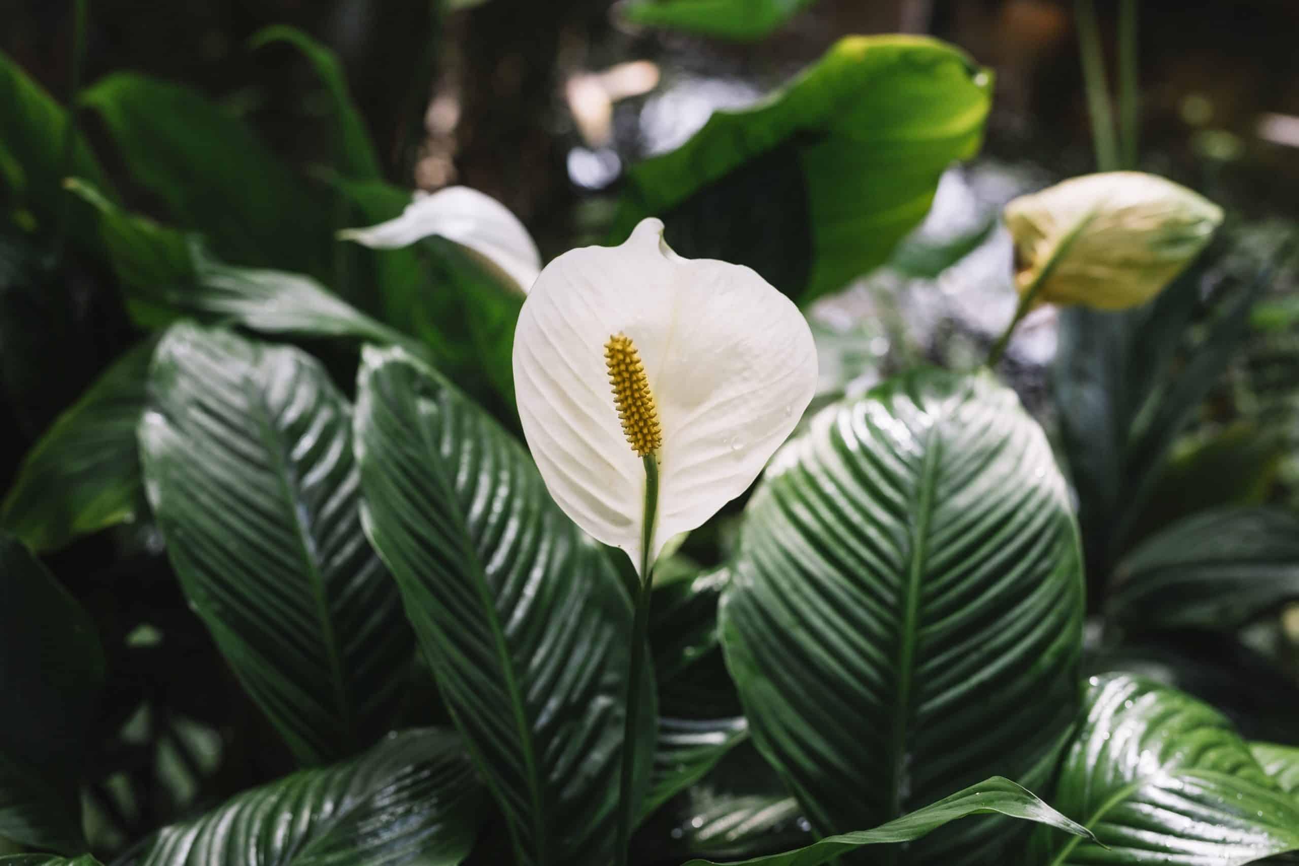 Plante Exterieur Qui Aime L Eau spathiphyllum - fleur de lune - lis de paix : comment l