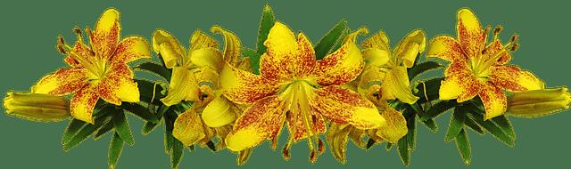 Le lys asiatique