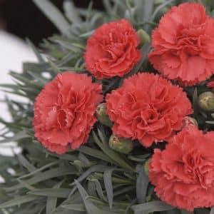 oeillet Dianthus mignardise