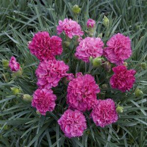 oeillet Dianthus plumarius