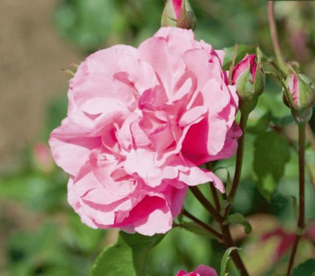 rose printemps