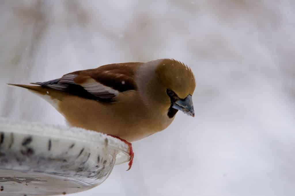 Oiseaux des Jardins : Amis Qu'Il Faut Nourrir Et Abreuver