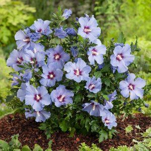 hibiscus-syriacus-marina