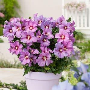 hibiscus-syriacus-russian-violet