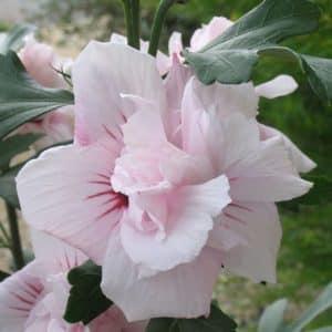 hibiscus-syriacus-salima