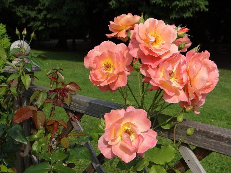 quizz rosiers