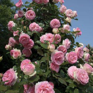 rosier-grimpant-pierre-de-ronsard-meiviolin