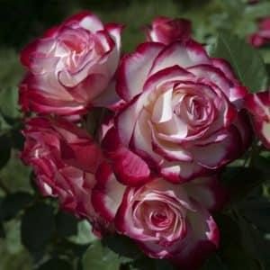 rosier-jubile-du-prince-de-monaco-meisponge