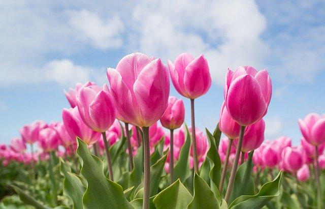 tulipe comestible