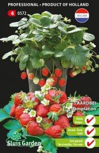 fraisier tentation