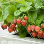planter fraisier en pot