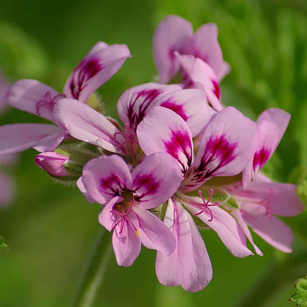 Plante repulsif moustique