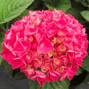 Hortensia 'Red Baron'