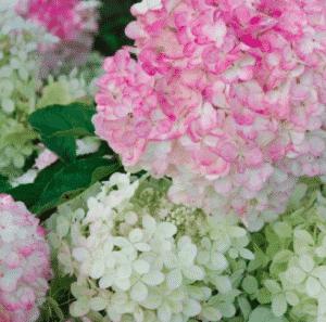 Hortensia paniculata 'Vanille Fraise®' Renhy