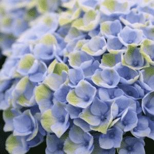 Hortensia Magical® Revolution