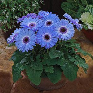 gerbara bleu