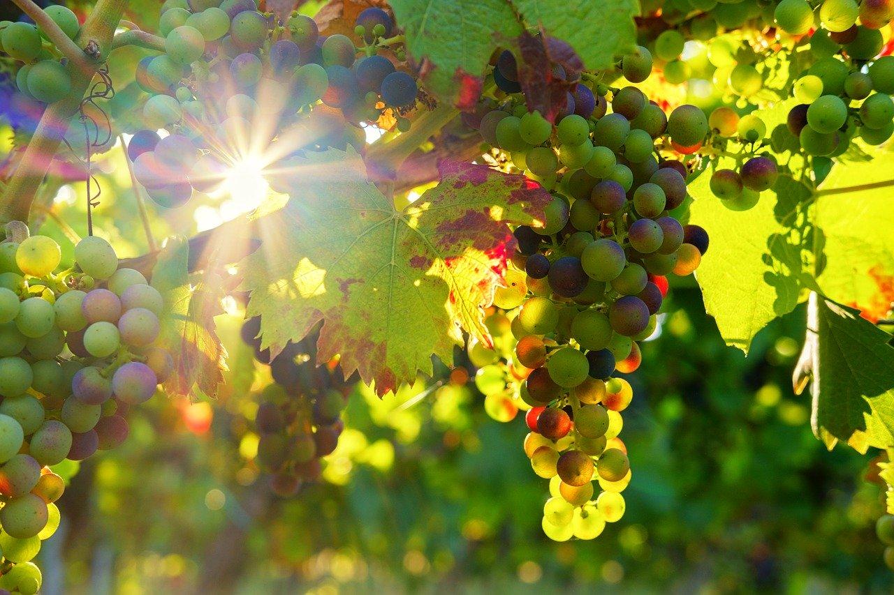 entretien vigne