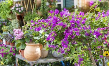 Fleur bougainvillier