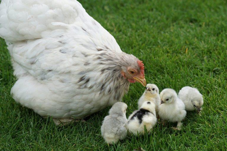 poules et jardin