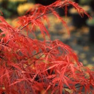 Erable du Japon 'Crimson Queen'