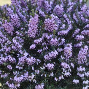 Bruyère d'hiver 'Spring Surprise'