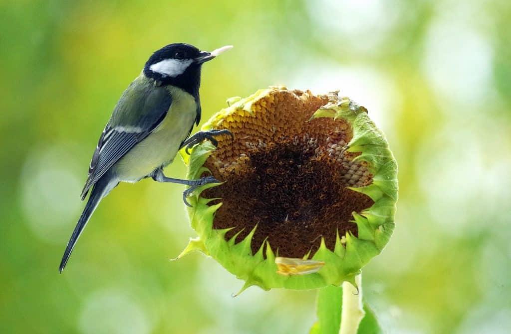 oiseau graine de tournesol